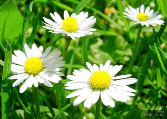 какие цветы сажают осенью в открытый грунт