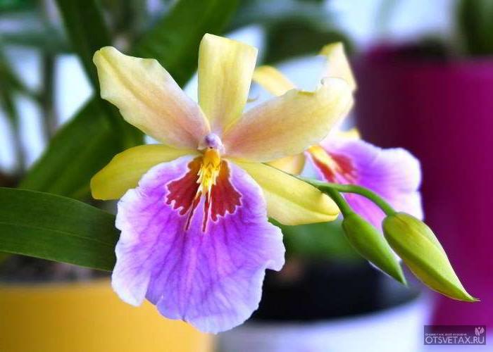 орхидея уход в домашних условиях фото после цветения