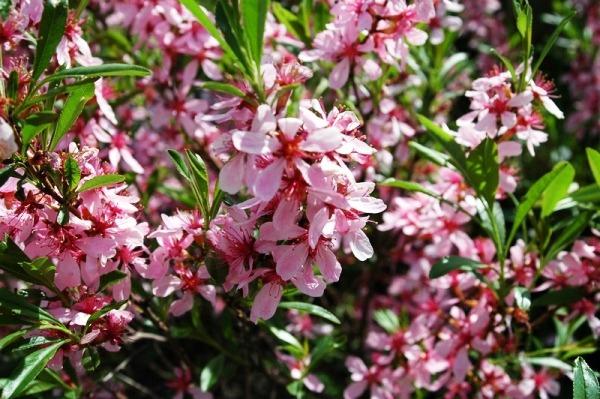 кустарники для сада многолетние зимостойкие цветущие