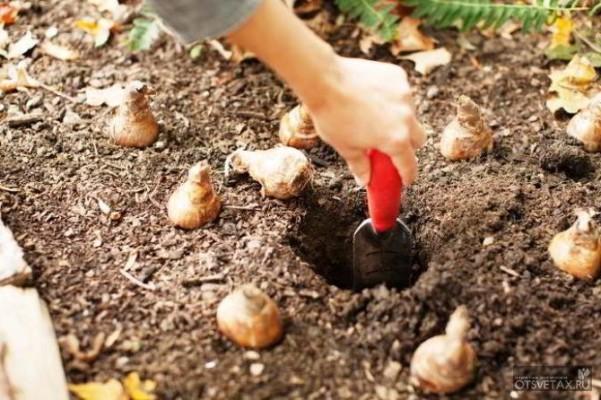 тюльпаны когда сажать луковицы осенью дома