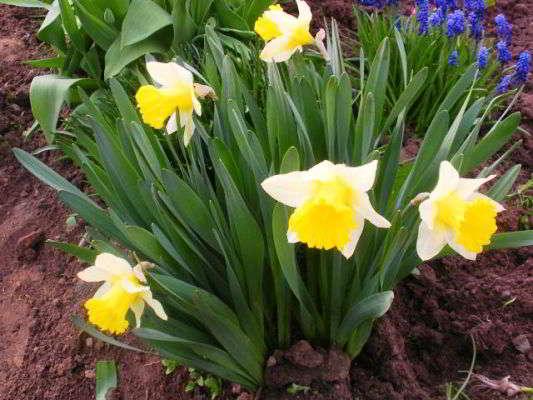 цветок луковичный садовый