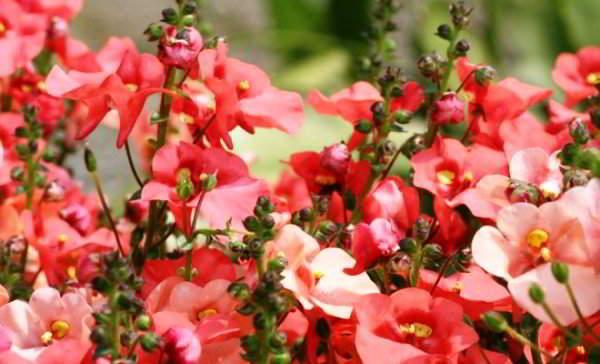 Немезия в саду фото