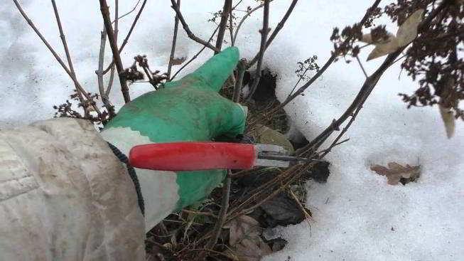 нужно ли обрезать гортензию садовую на зиму