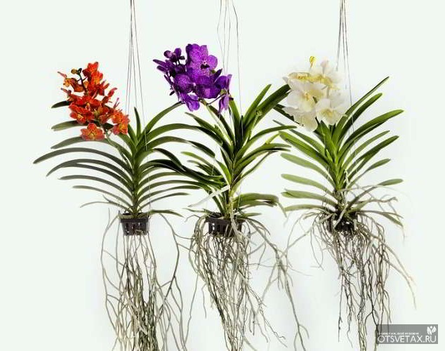 орхидея уход в домашних условиях фото как поливать