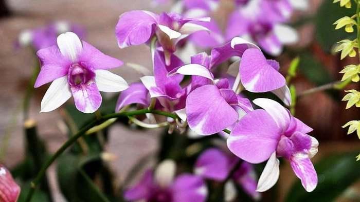 Orhideya-dendrobium-foto-Uhod-v-domashnih-usloviyah