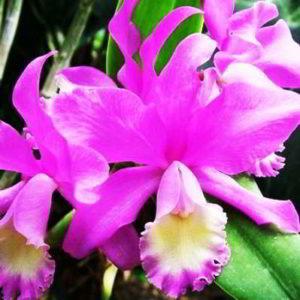 Орхидея каттлея: основы ухода за цветком в домашних условиях