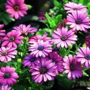 Остеоспермум: выращивание из семян в домашних условиях фото