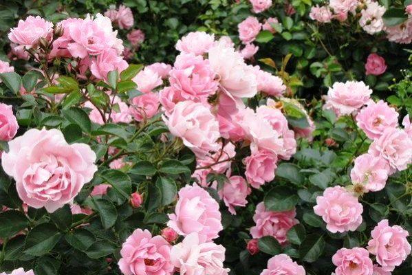 многолетние цветущие кустарники названия и фото
