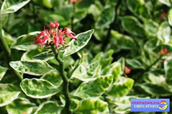 педилантус уход в домашних условиях как заставить цвести