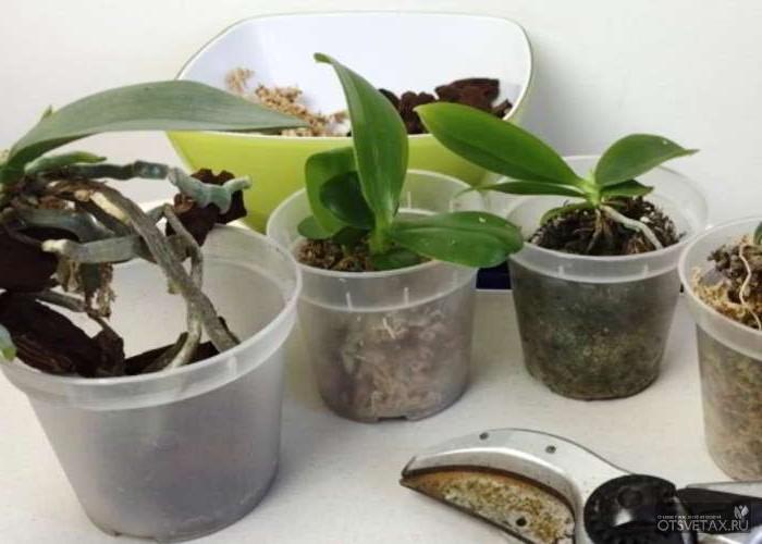 орхидея уход в домашних условиях фото пересадка