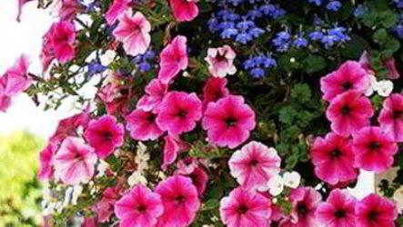 Петуния ампельная и каскадная: в чём отличие и разница между растениями