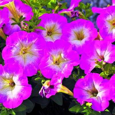 петуния сорта фото и названия мелкоцветковая