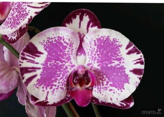мини орхидея фаленопсис уход в домашних условиях