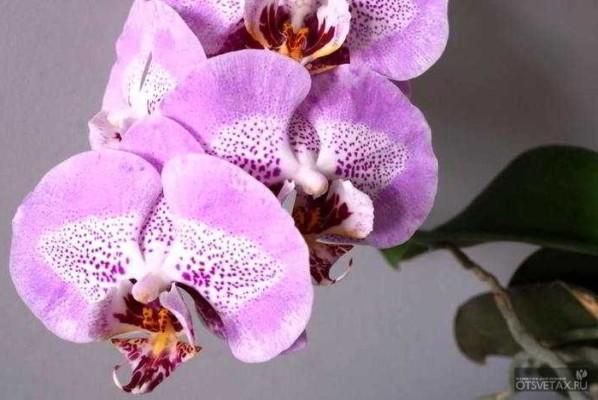 орхидея фаленопсис уход в домашних условиях не цветет