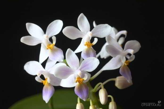 орхидея phalaenopsis уход в домашних условиях