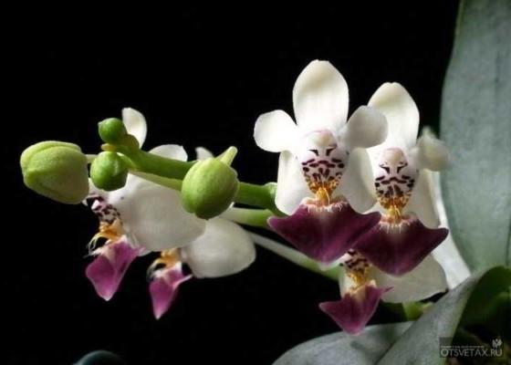 орхидея фаленопсис уход в домашних условиях фото виды