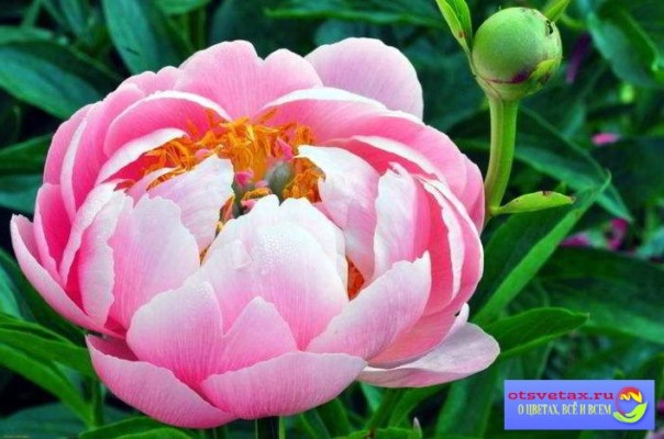 цветы для клумбы неприхотливые фото