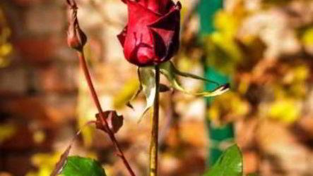 Плетистые розы – осенний уход, подготовка к зиме, укрытие