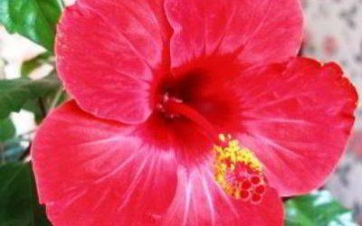 Гибискус «цветок смерти» – почему его так называют, народные приметы
