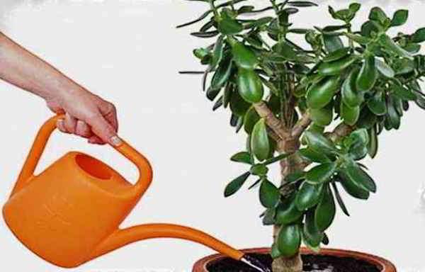 денежное дерево как посадить и ухаживать
