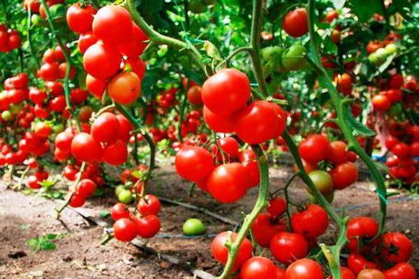 помидоры посадка и уход в теплице