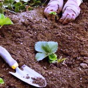 Посадка клубники осенью в открытый грунт