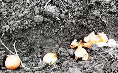 как правильно сажать лук под зиму