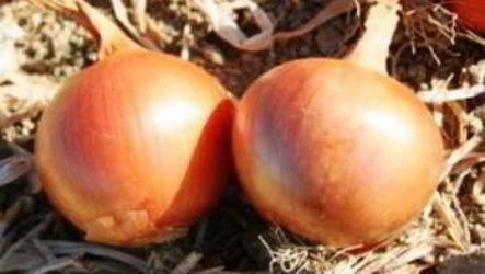 Посадка лука под зиму: как и когда сажать лук осенью