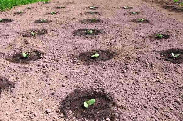 посадка тыквы в грунт семенами