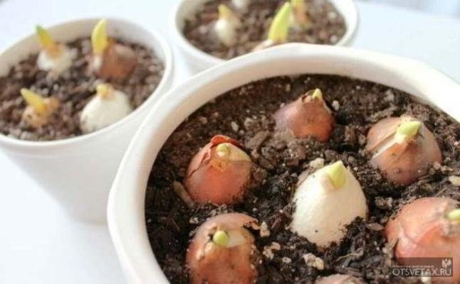 тюльпаны когда сажать луковицы осенью в подмосковье