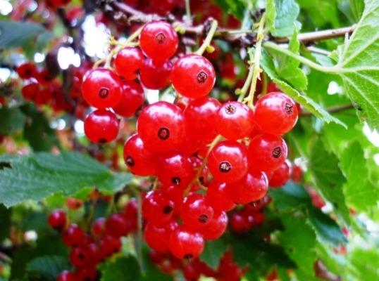ягоды смородины на кусте