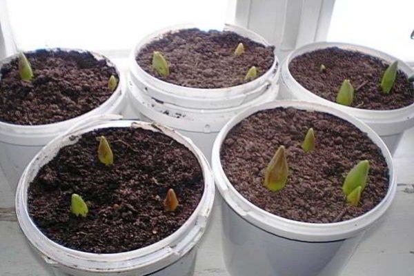 выгонка тюльпанов в феврале