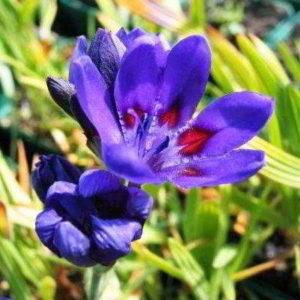 Растение бабиана
