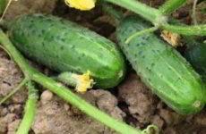 Огурцы: посадка и уход в открытом грунте