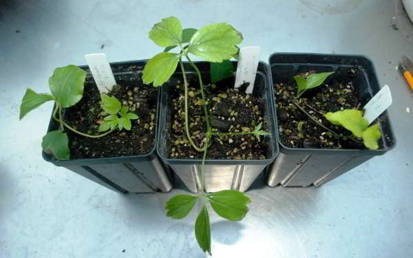 как размножить клематисы зелеными черенками