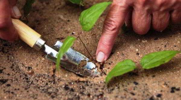 как размножить клематис отводками