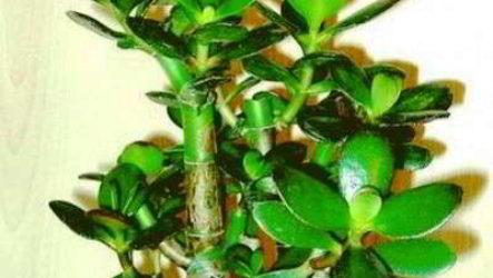 Как правильно размножить толстянку листом