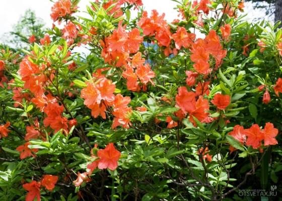 рододендрон садовый посадка и уход фото видео