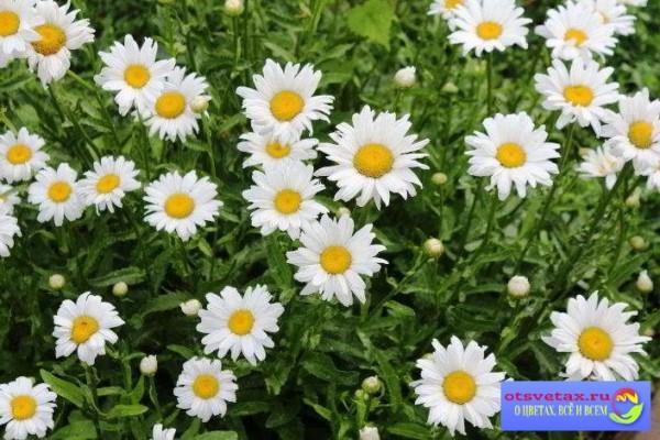 цветы для клумбы неприхотливые многолетние