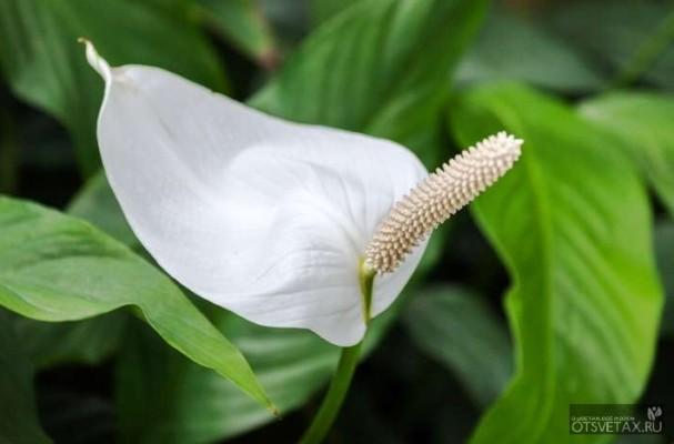 женское счастье цветок уход в домашних условиях подкормка