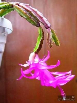 декабрист цветок уход в домашних условиях сорта