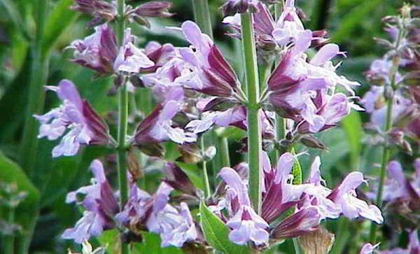 шалфей растение
