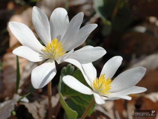 какие цветы сажают осенью на даче семенами