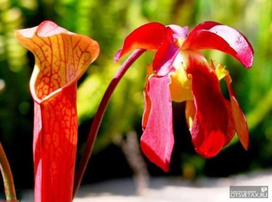 хищные растения саррацения фото