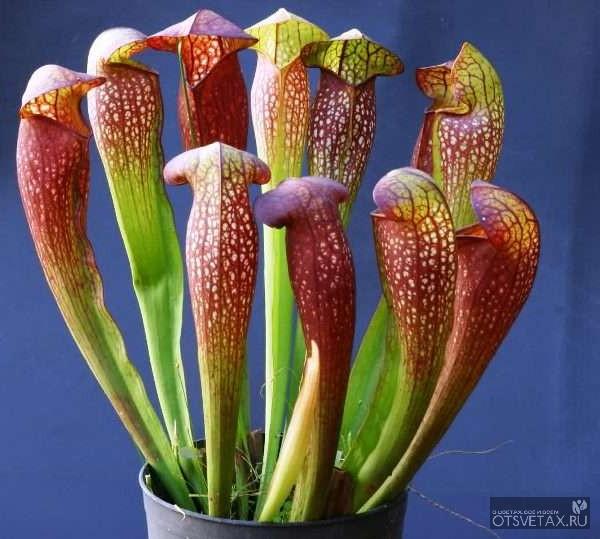 хищные растения саррацения