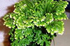 Селагинелла: уход в домашних условиях, особенности выращивания и размножение