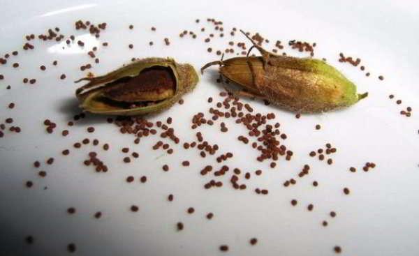 табак душистый выращивание из семян