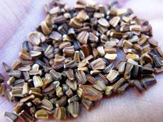 Семена хризантемы фото