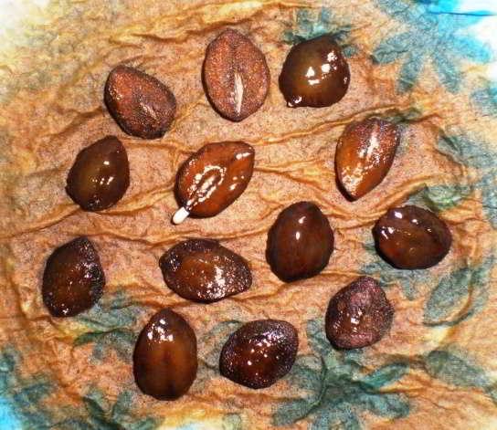 кобея лазающая семена