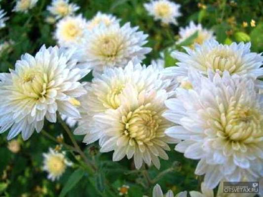 Хризантемы домашние в горшках уход